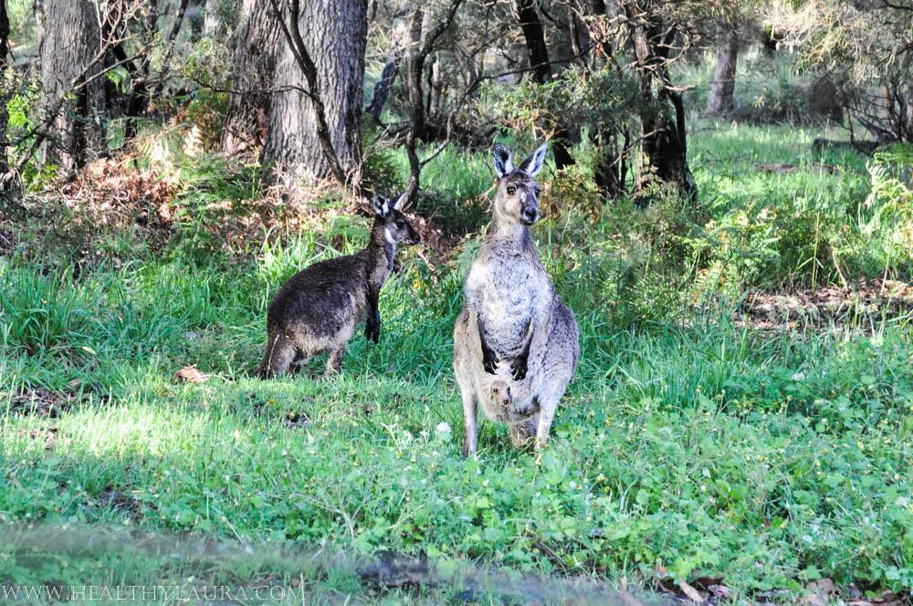 Three wild kangaroos